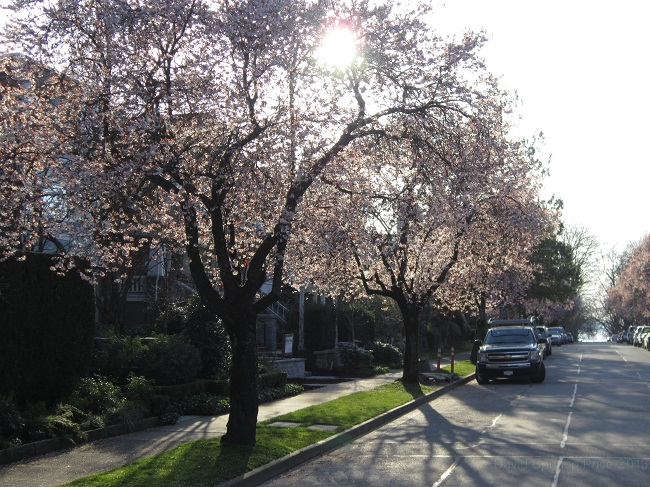 A cherry tree-lined street in Vancouver